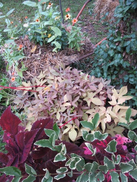 ligustrum coleus ipomoea zinnia